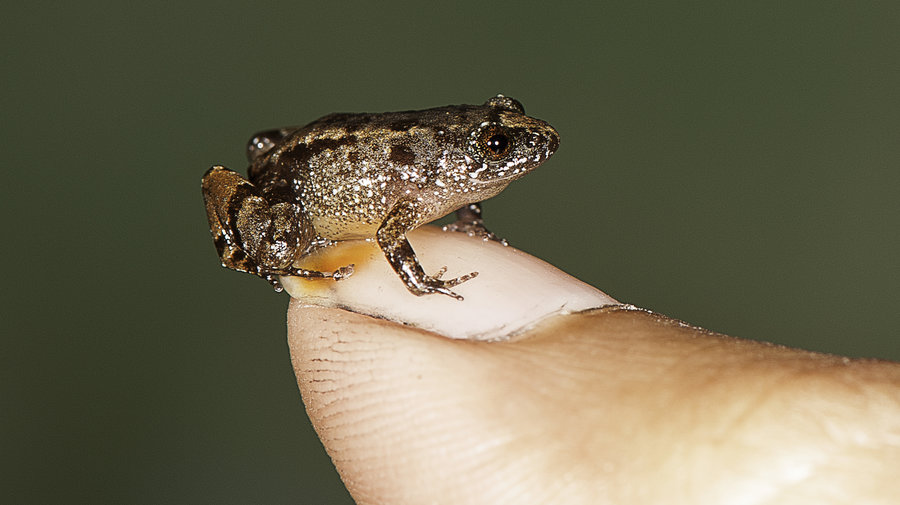 scientists discover new species frogs india