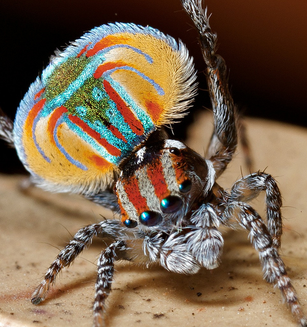 Peacock Spider - 3