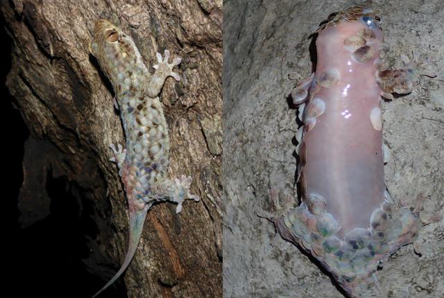gecko naked predators