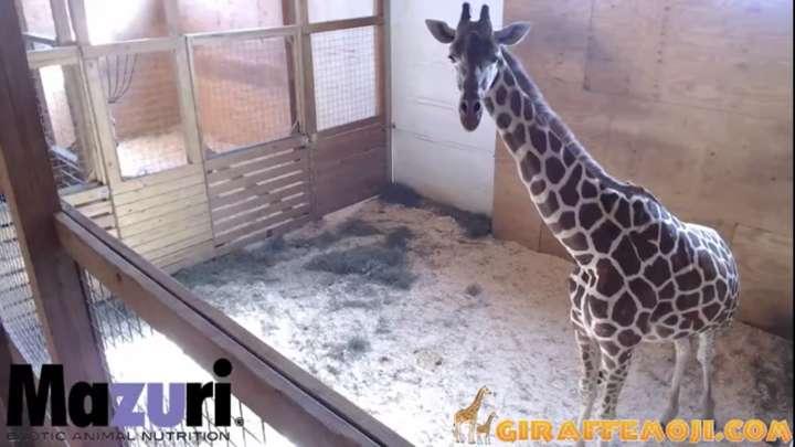 Pregnant Mom Spoofs April The Giraffe